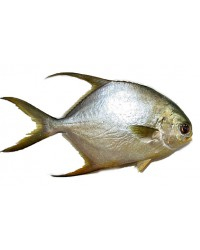 *Frozen Golden Pompano 600-800gms