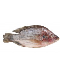 *Frozen Tilapia Cleaned/Gutted 550-750gms
